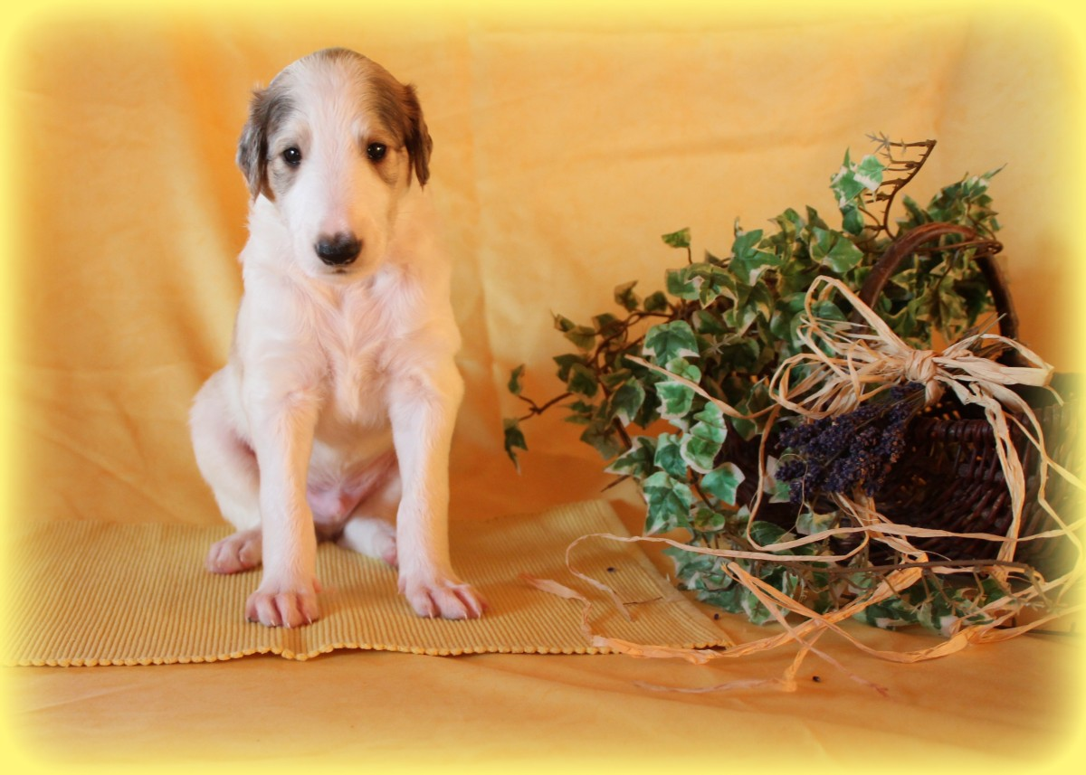 Barsoiwelpen Deutschland, Borzoi puppies Germany