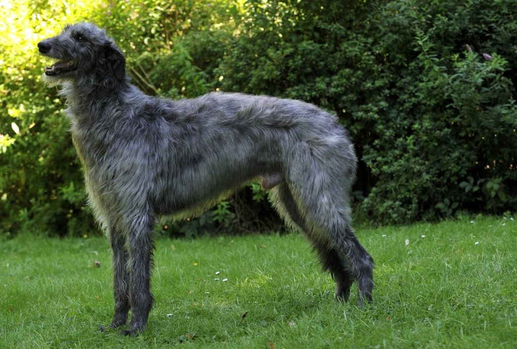 Neue Wurfplanung Deerhound! Deerhound