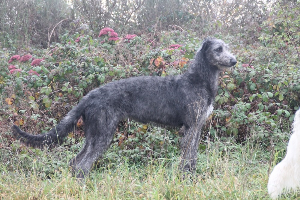 Deerhound-Hündin, graue Deerhounds
