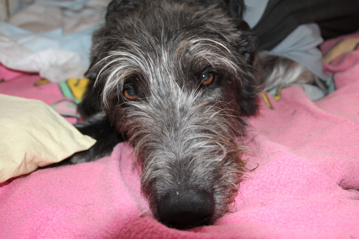 Windhunde/Scottish Deerhound/Deerhound Welpen
