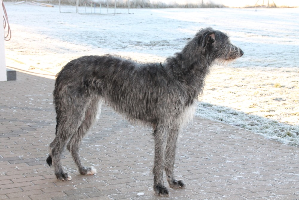 Scottish Deerhounds in Deutschland/Germany