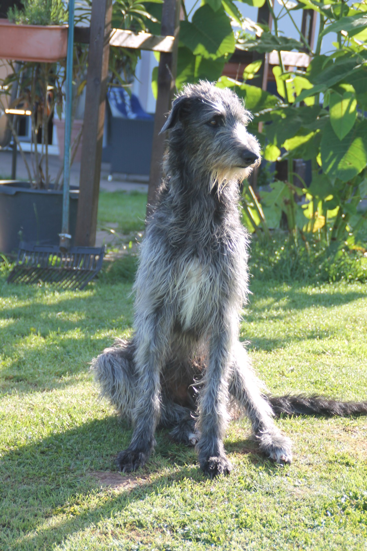 Scottish Deerhounds aus FCI Zucht