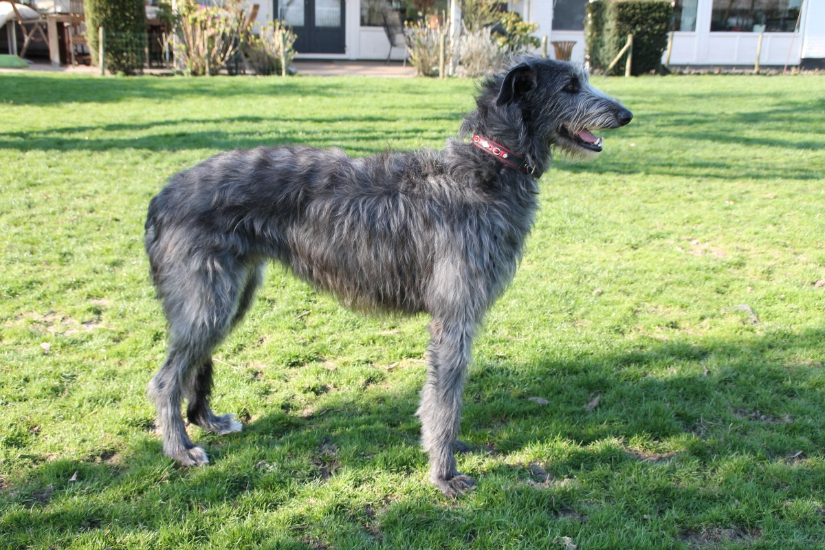 Scottish Deerhound breeder in Germany/Europe