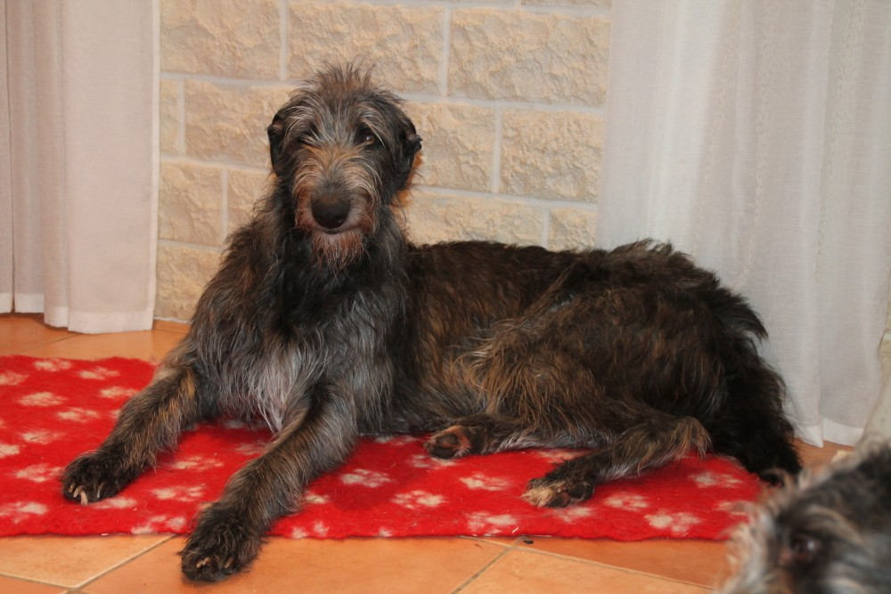 Scottish Deerhound Züchterin Nadja Koschwitz