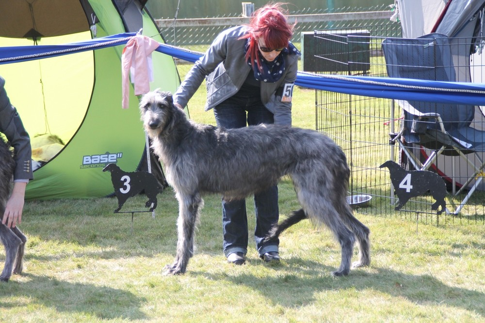 Deerhound auf Hundeausstellung/Scottish Deerhounds